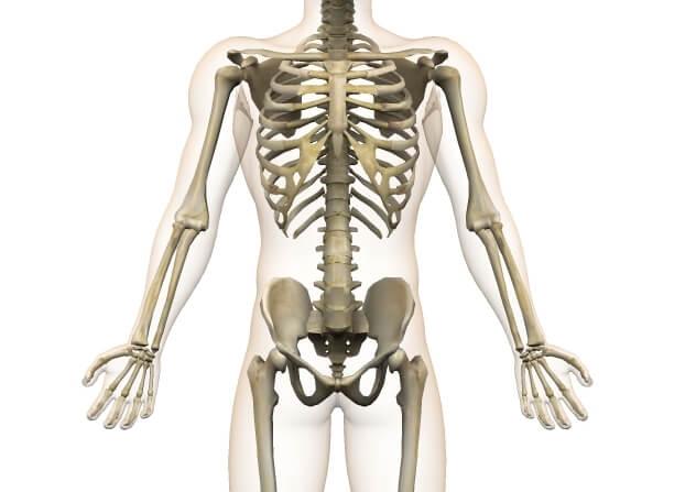 骨格 上半身