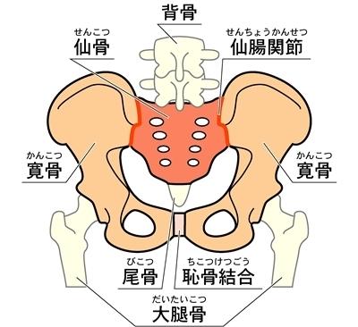 背骨 仙骨 仙腸関節 寛骨 尾骨 恥骨結合 大腿骨