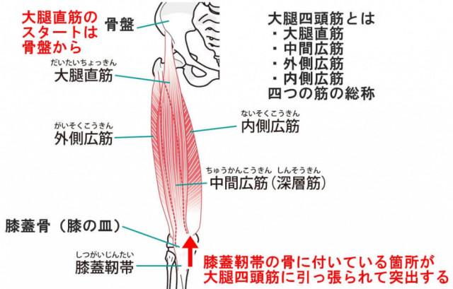 大腿四頭筋 大腿直筋 内側広筋 中間広筋 外側広筋
