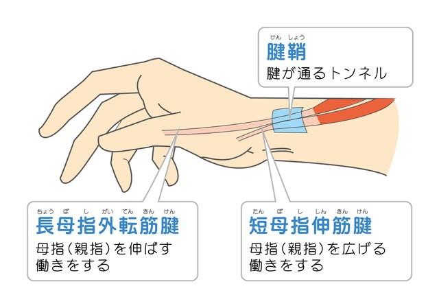 腱鞘 腱が通るトンネル 長母指外転筋腱 母指親指を伸ばす働き 短母指伸筋腱 母指親指を広げる働き