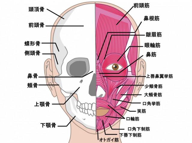 側頭骨 下顎骨 咬筋