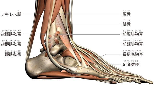 前距腓靭帯 踵腓靭帯 後距腓靭帯 アキレス腱