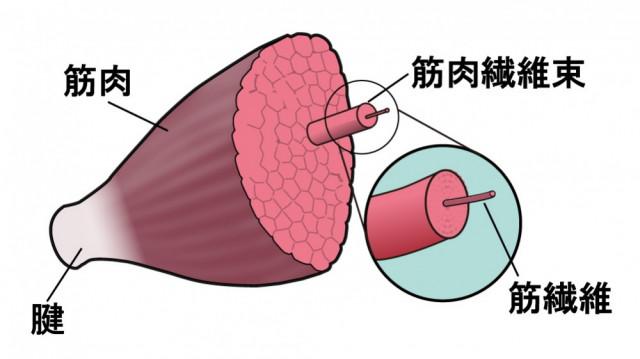筋肉 筋繊維